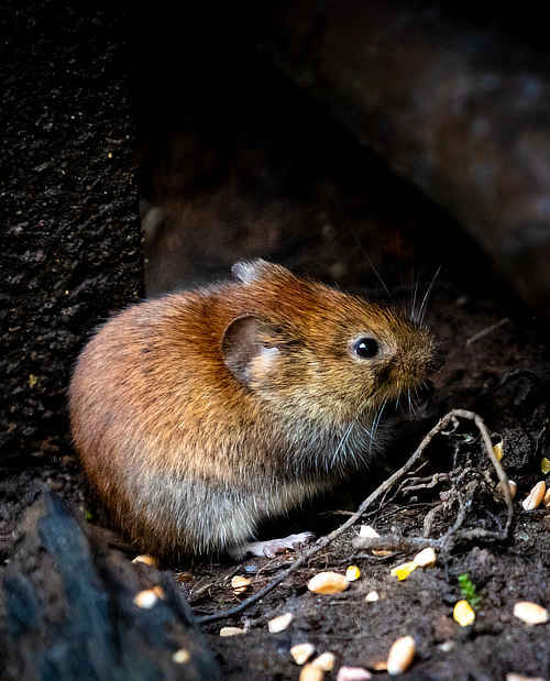 Mice Control Services - Best Defense Pest Solutions