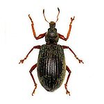 Strawberry Root Weevil Pest Control in Janesville Wi