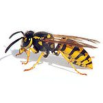 Wasp Control - Best Defense Pest Solutions